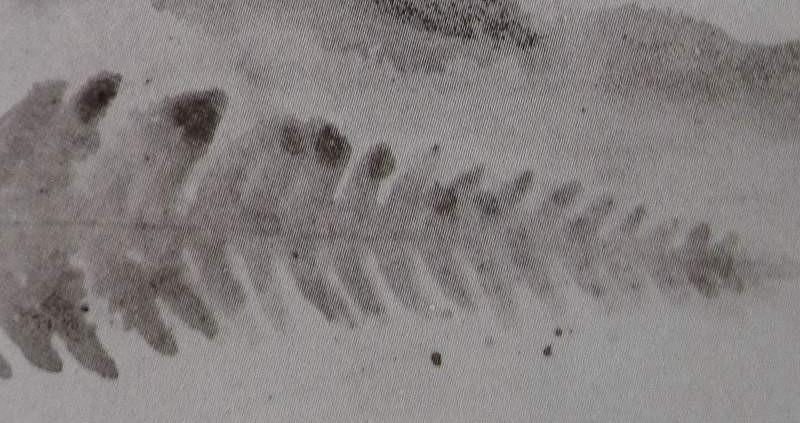 Ce détail d'un dessin de Victor Hugo représente la trace d'une fougère, comme une plume d'aigle inscrite dans la terre.